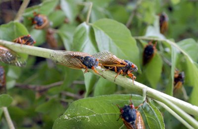 Swarm of Cicadas